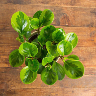 "American Baby Rubber Plant 'Lemon Lime' 6"" - Urban Sprouts"