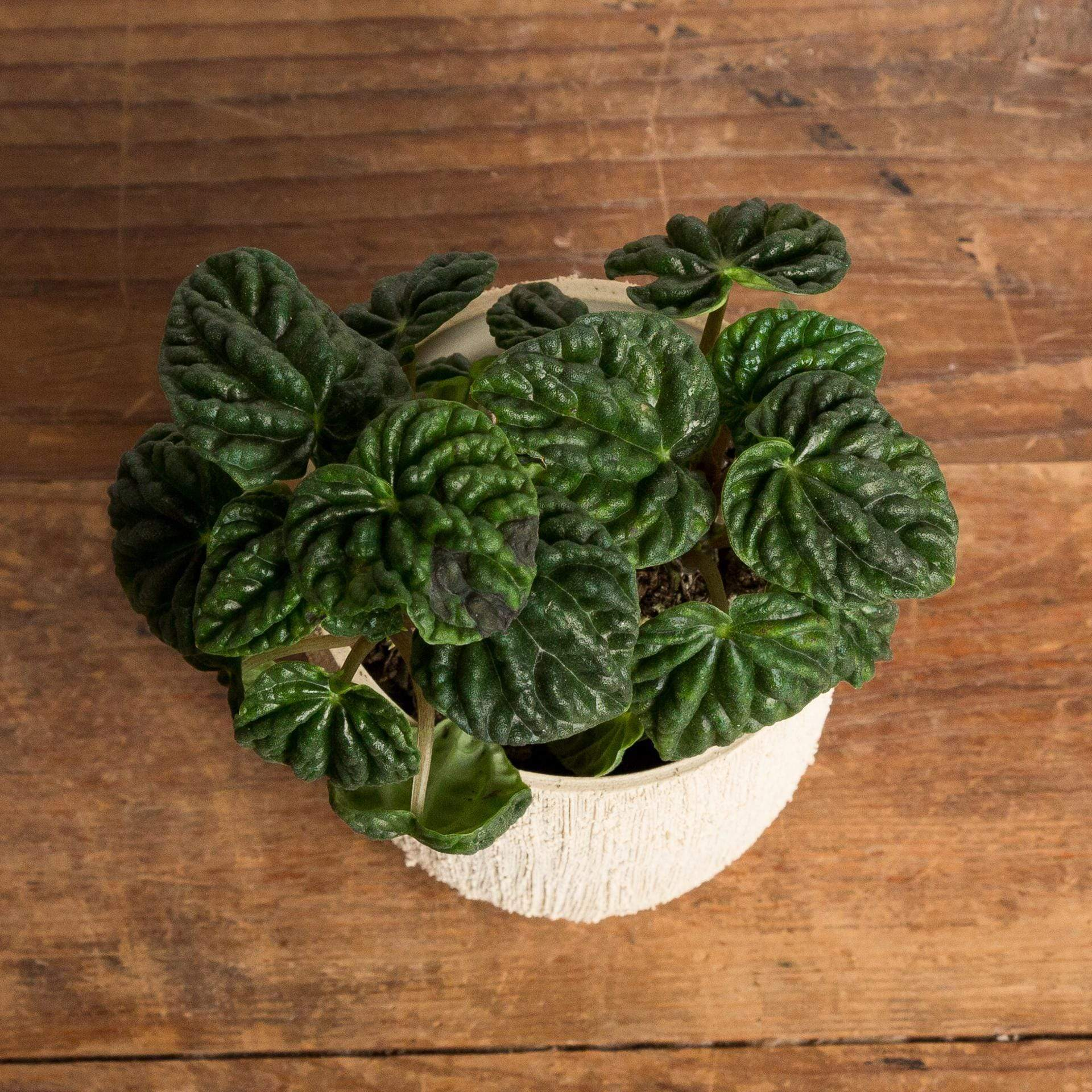 Peperomia 'Emerald Ripple' - Urban Sprouts