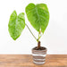 "Philodendron 'Tenue' 4"" - Urban Sprouts"