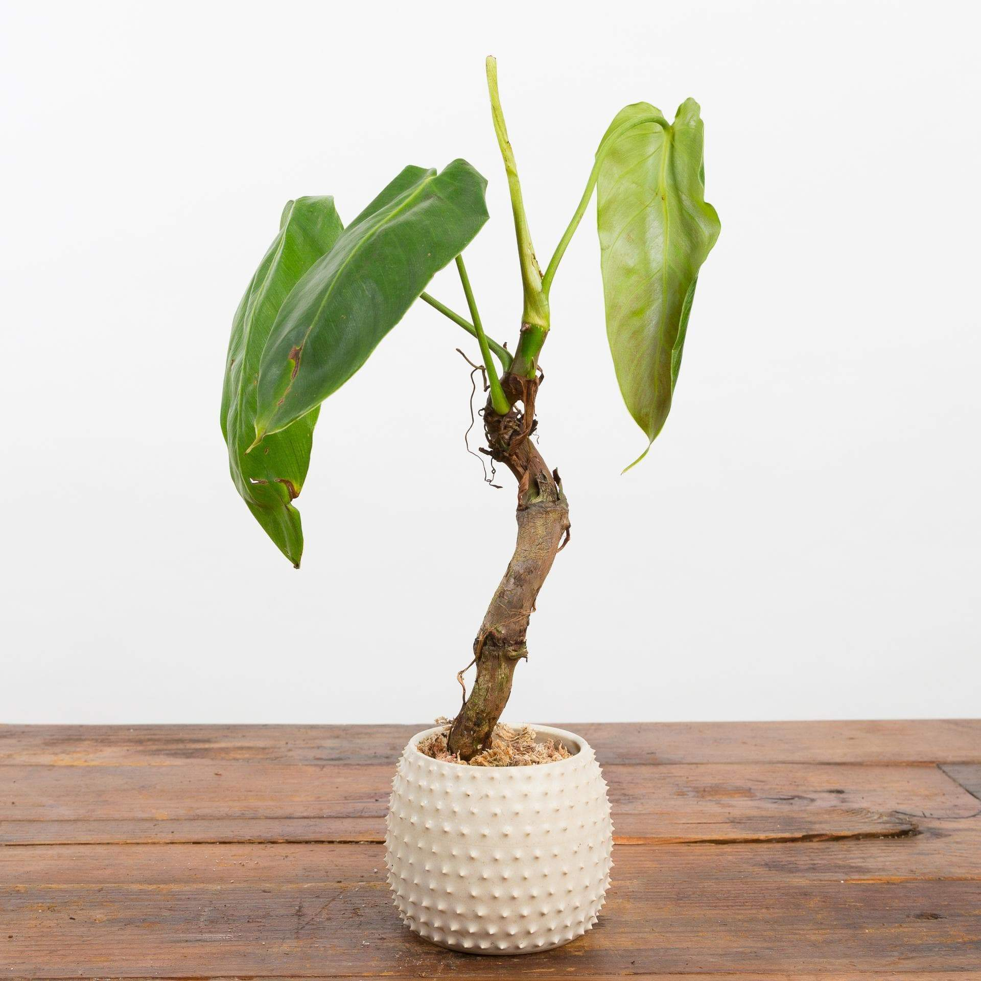"Philodendron 'Verrucosum' 4"" - Urban Sprouts"
