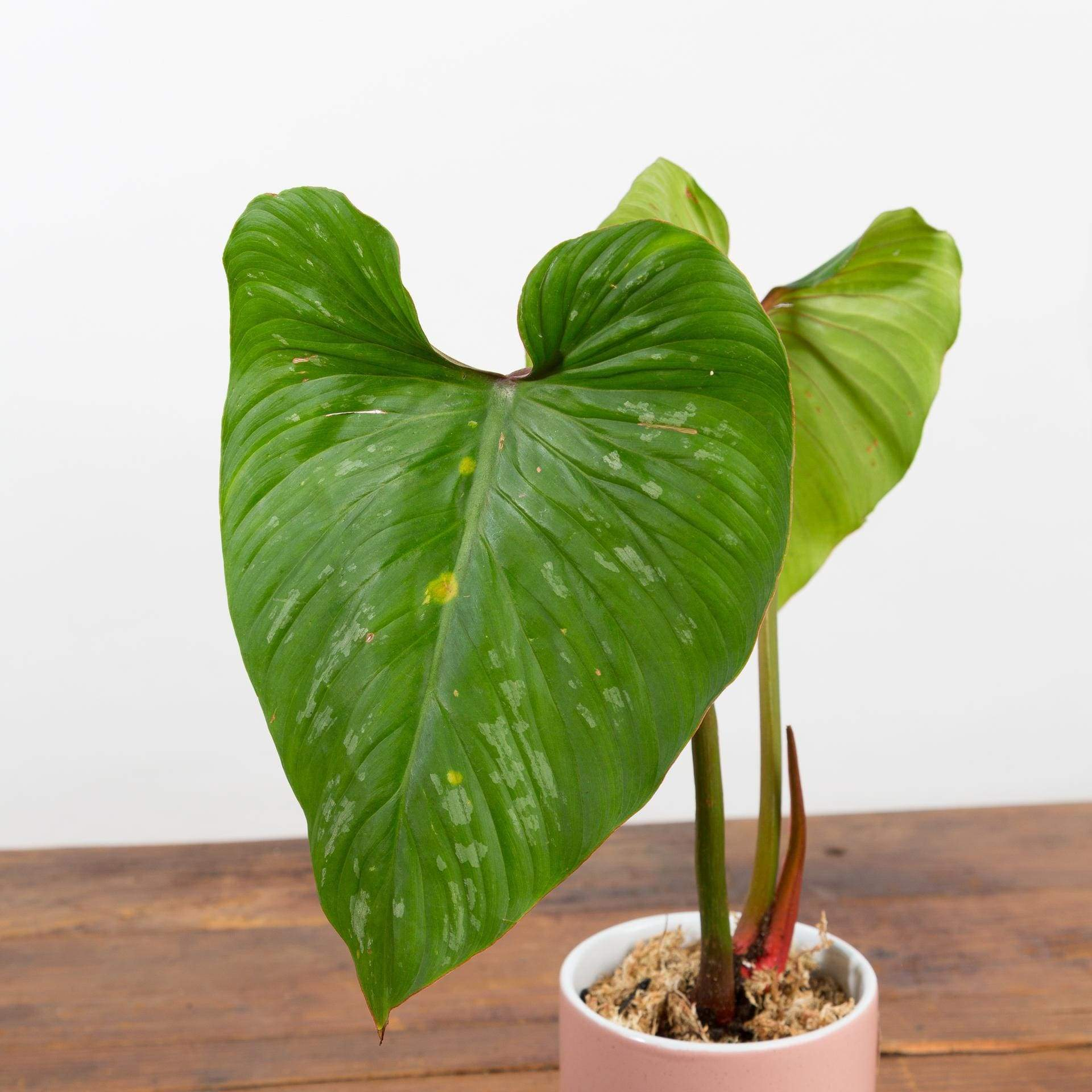 "Philodendron 'Mamei' 4"" - Urban Sprouts"
