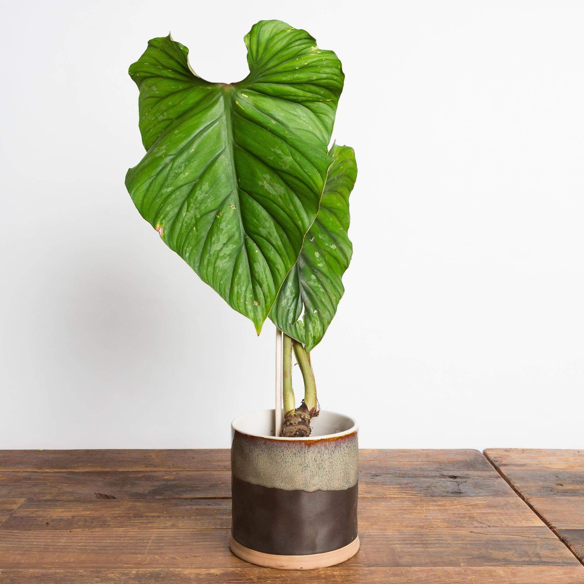 "Philodendron ""Plowmanii' 6"" - Urban Sprouts"