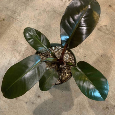 Philodendron 'Black Cardinal' - Urban Sprouts