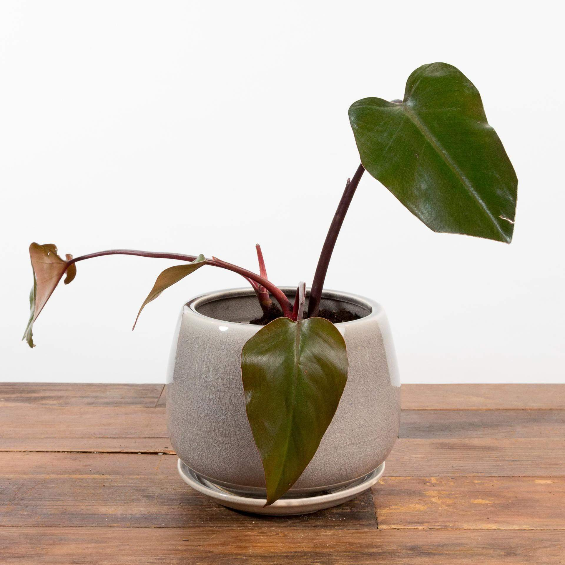 "Philodendron 'Bloody Mary' 4"" - Urban Sprouts"