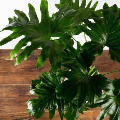 "Philodendron 'Hope' 10"" - Urban Sprouts"