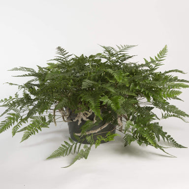 "Urban Sprouts Plant 10"" in nursery pot Fern 'White Rabbit Foot'"