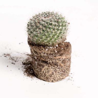 "Urban Sprouts Plant 2"" in nursery pot Cactus 'Old Lady'"