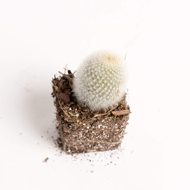 "Urban Sprouts Plant 2"" in nursery pot Cactus 'Snowball - Orange'"