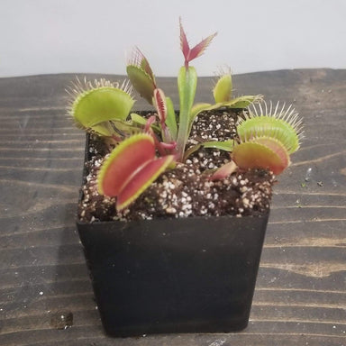"Urban Sprouts Plant 2""  in nursery pot Carnivorous 'Venus Flytrap - Red Mouth'"
