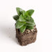 "Urban Sprouts Plant 2"" in nursery pot Jade 'Springtime'"