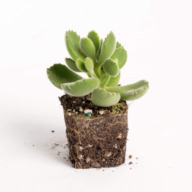 "Urban Sprouts Plant 2"" in nursery pot Succulent 'Bear's Paw'"