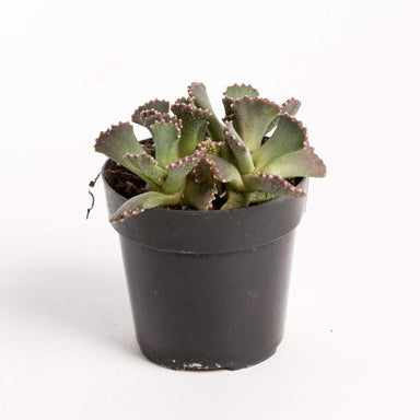 "Urban Sprouts Plant 2"" in nursery pot Succulent 'Giant Jewel'"