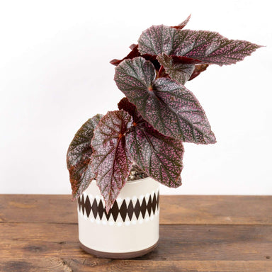 "Begonia 'Miss Mummy' 4"" - Urban Sprouts"