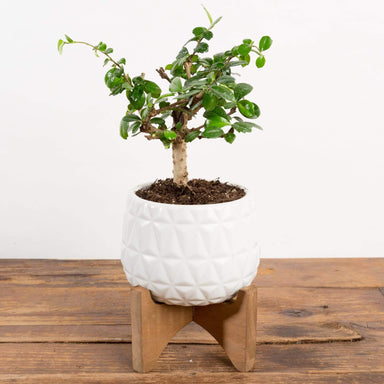 Bonsai 'Carmona' - Urban Sprouts