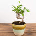Bonsai 'Ficus retusa' - Urban Sprouts