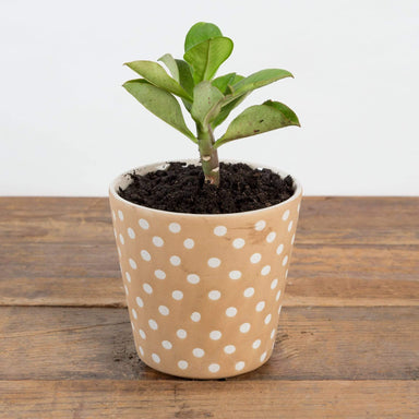 "African Milk Bush 4"" - Urban Sprouts"