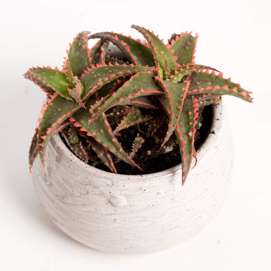 "Urban Sprouts Plant 4"" in nursery pot Aloe 'Christmas Sleigh'"