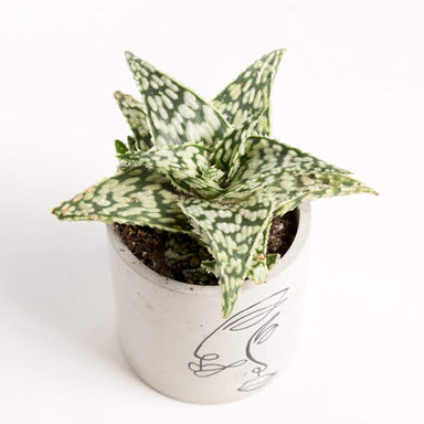 "Urban Sprouts Plant 4"" in nursery pot Aloe 'Snowstorm'"