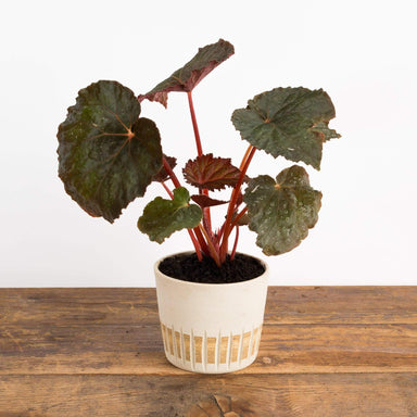Begonia 'Taconite' - Urban Sprouts