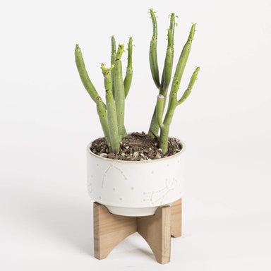 "Urban Sprouts Plant 4"" in nursery pot Cactus 'Cat Tails'"