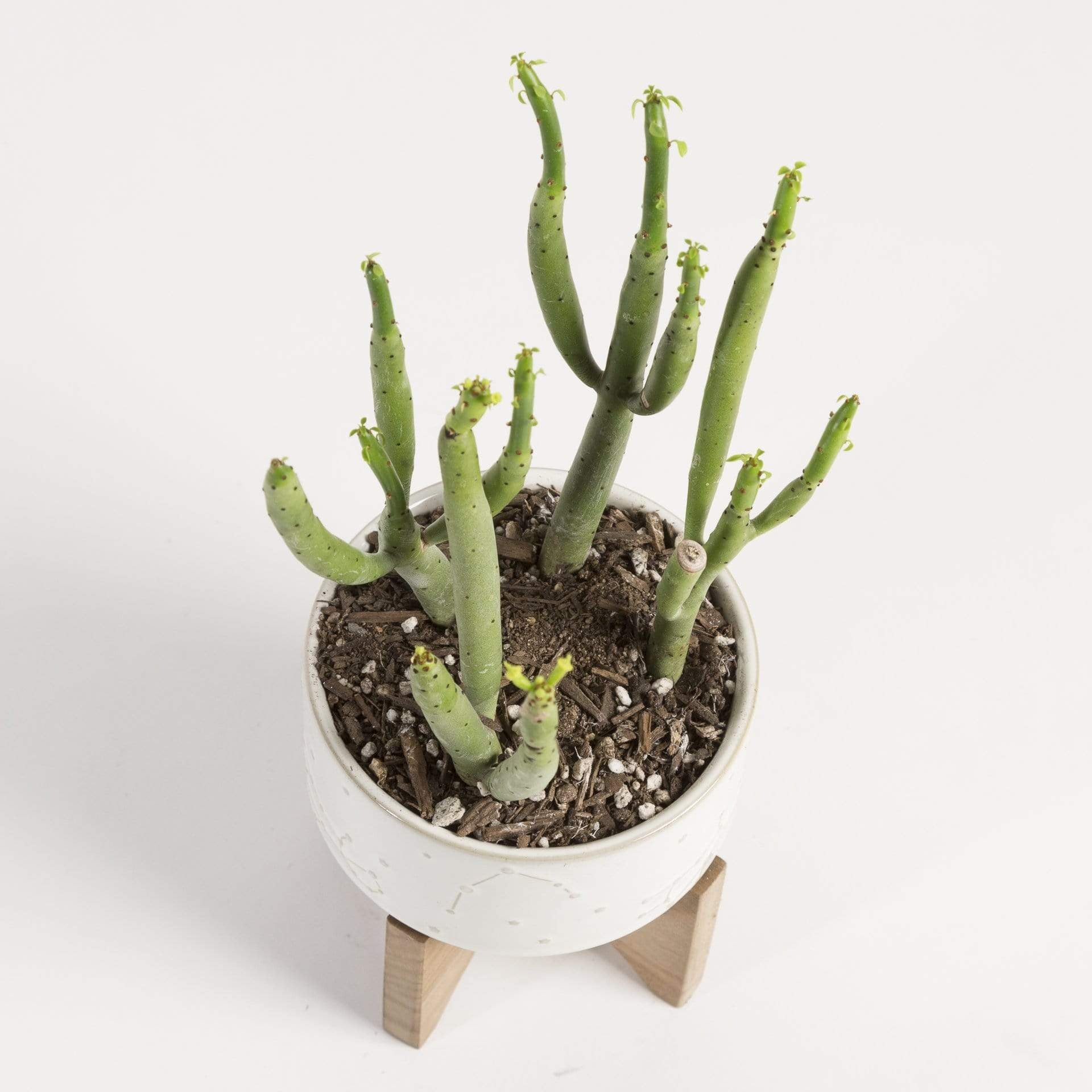 Cactus 'Cat Tails' - Urban Sprouts