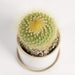 "Urban Sprouts Plant 4"" in nursery pot Cactus 'Lemon Ball'"