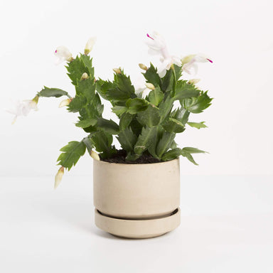 "Urban Sprouts Plant 4"" in nursery pot Cactus 'Thanksgiving'"