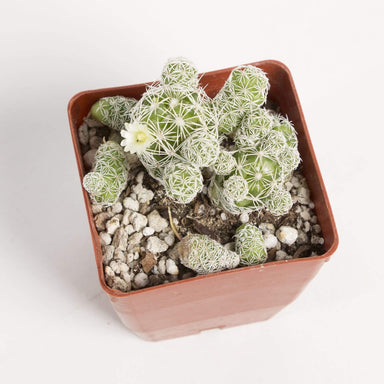 "Urban Sprouts Plant 4"" in nursery pot Cactus 'Thimble'"