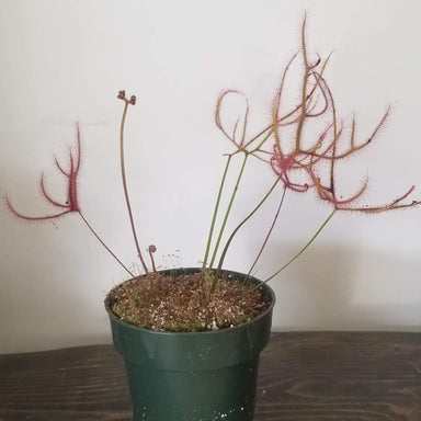 "Urban Sprouts Plant 4"" in nursery pot Carnivorous 'Fork-leaved Sundew - Dichotoma'"