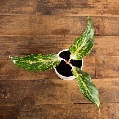 Chinese Evergreen 'Butterfly' - Urban Sprouts