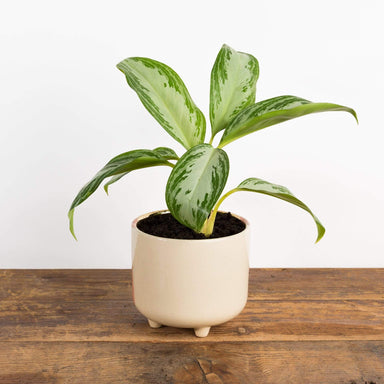 "Chinese Evergreen 'Leprechaun' 4"" - Urban Sprouts"
