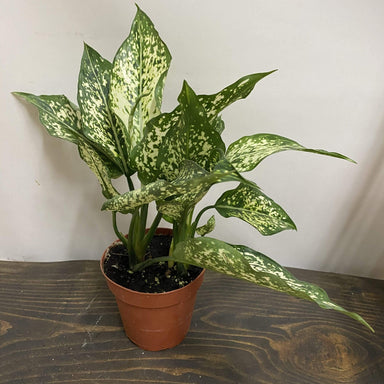 "Urban Sprouts Plant 4"" in nursery pot Chinese Evergreen 'Wintry Winehouse'"