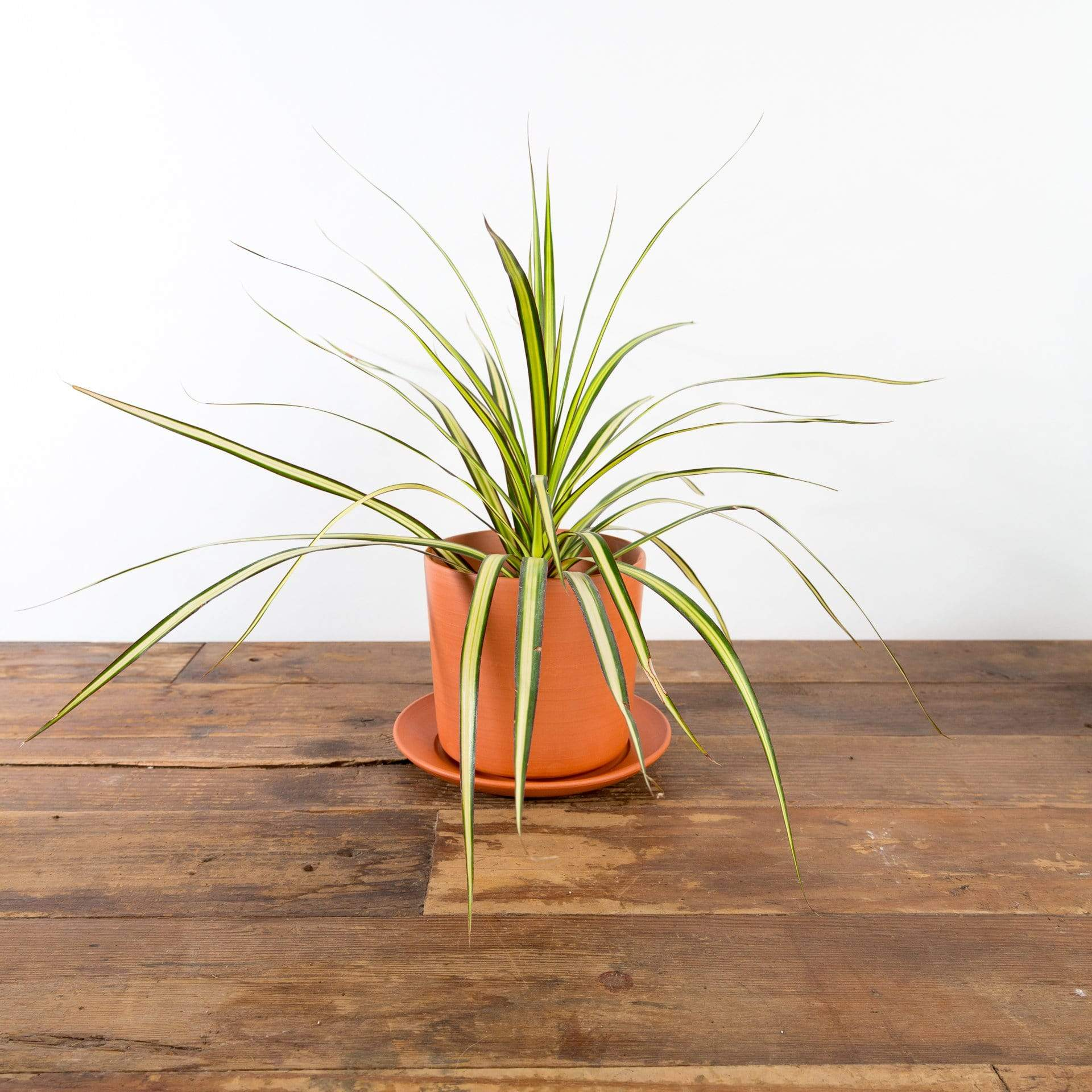 Dragon Tree 'Kiwi' - Urban Sprouts