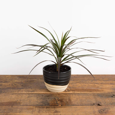 Dragon Tree 'Madagascar' - Urban Sprouts