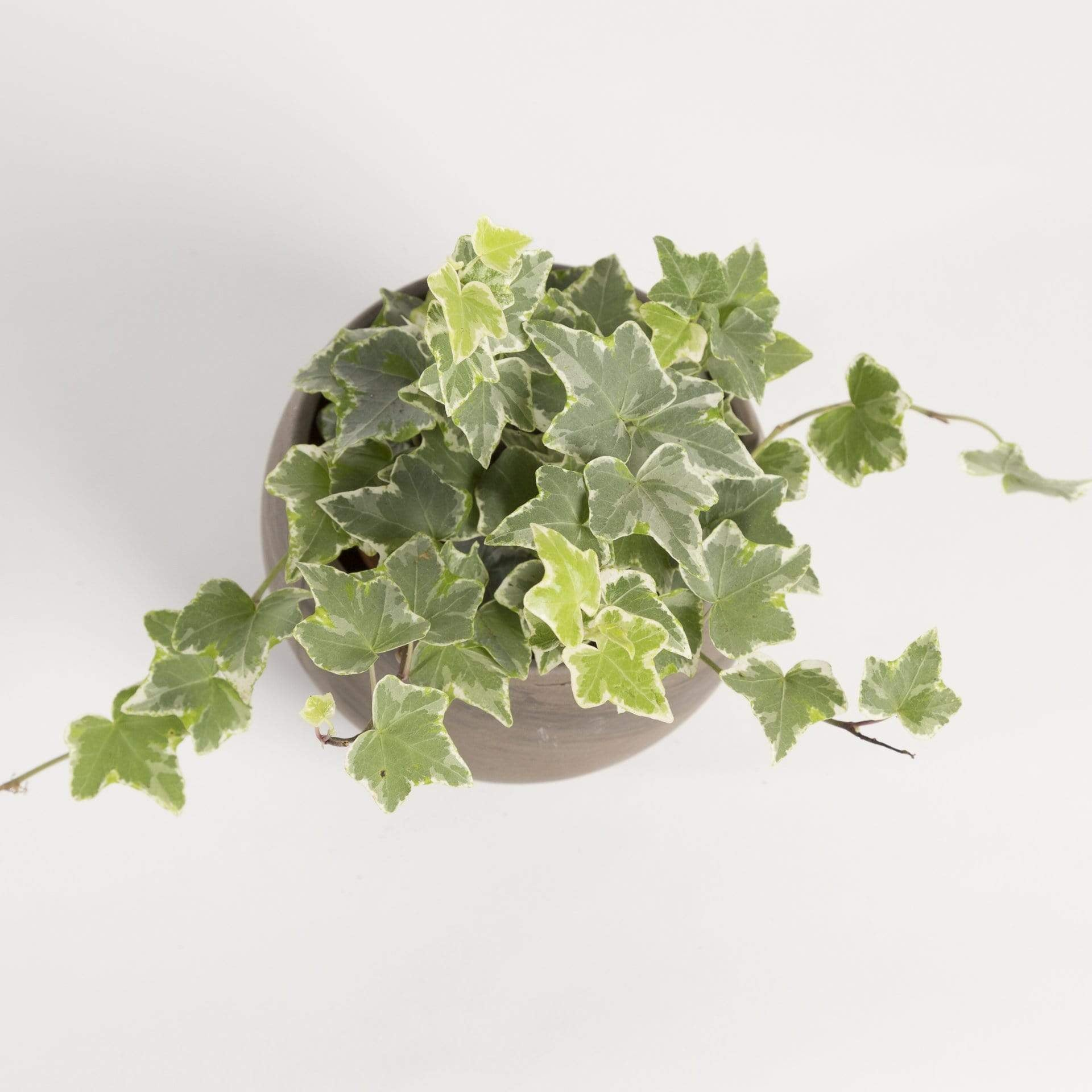 English Ivy 'Eva' - Urban Sprouts