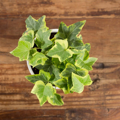 English Ivy 'Goldchild' - Urban Sprouts