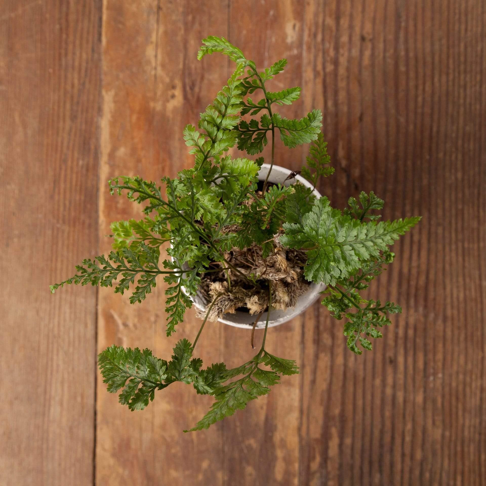 Fern 'Rabbit's Foot' - Urban Sprouts