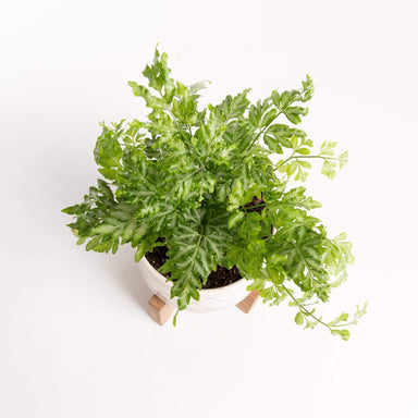 "Urban Sprouts Plant 4"" in nursery pot Fern 'Silver Lace'"