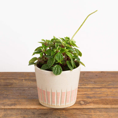 "Peperomia 'Little Fantasy' 4"" - Urban Sprouts"