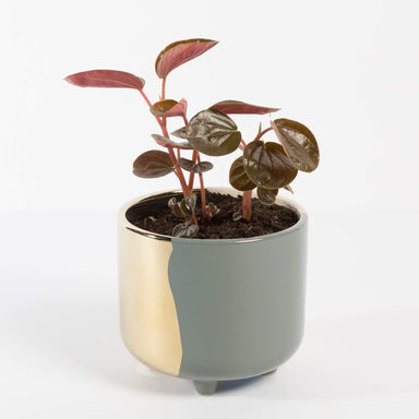 "Urban Sprouts Plant 4"" in nursery pot Peperomia 'Rugosa'"
