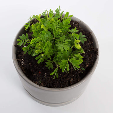 "Urban Sprouts Plant 4"" in nursery pot Sensitive Plant"