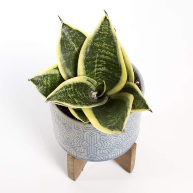 Snake Plant 'Birds Nest - Laurentii' - Urban Sprouts