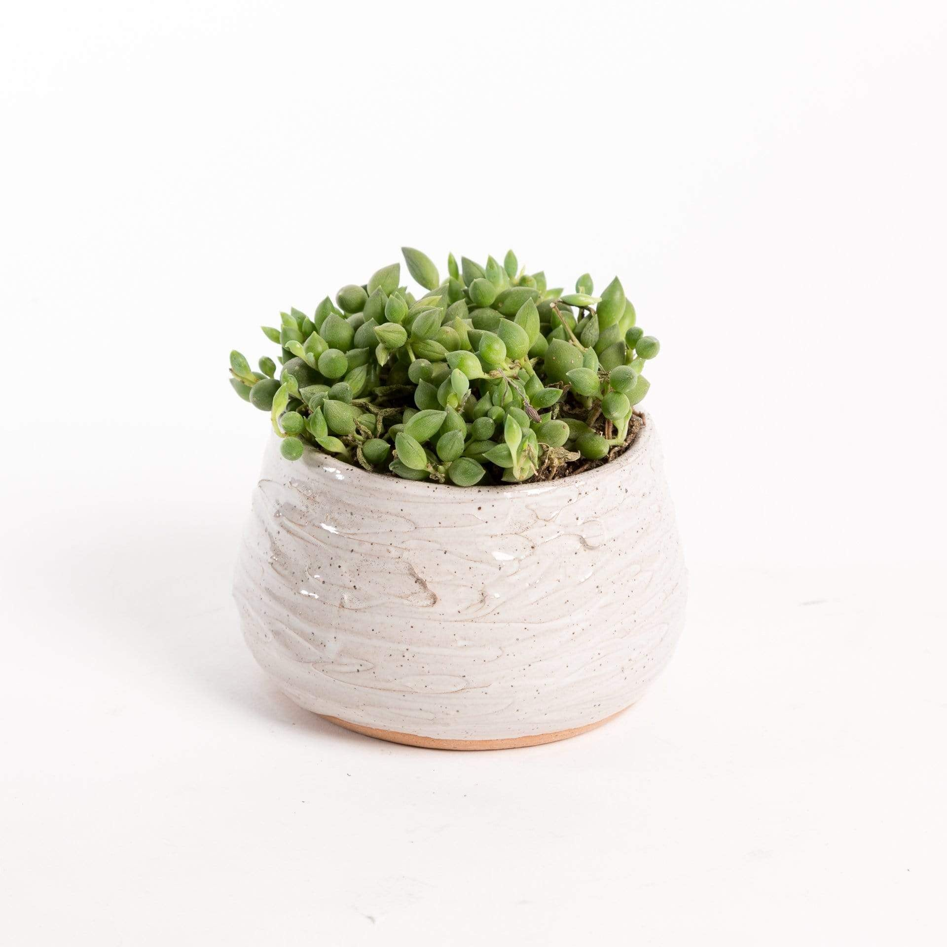 "Urban Sprouts Plant 4"" in nursery pot Succulent 'String Of Raindrops'"