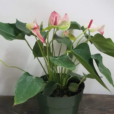 "Urban Sprouts Plant 6"" in nursery pot Anthurium 'Mystique'"