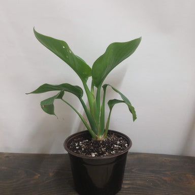 "Urban Sprouts Plant 6"" in nursery pot Bird of Paradise 'Orange'"