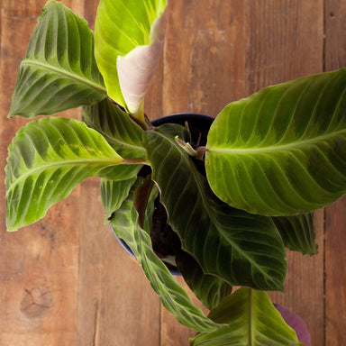 "Calathea 'Jungle Velvet' 6"" - Urban Sprouts"