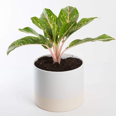 "Urban Sprouts Plant 6"" in nursery pot Chinese Evergreen 'Green Papaya'"