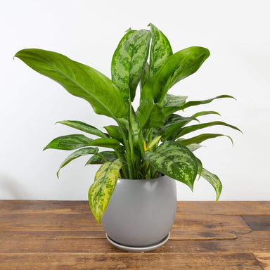 "Urban Sprouts Plant 6"" in nursery pot Chinese Evergreen 'Indo Princess' 6"""