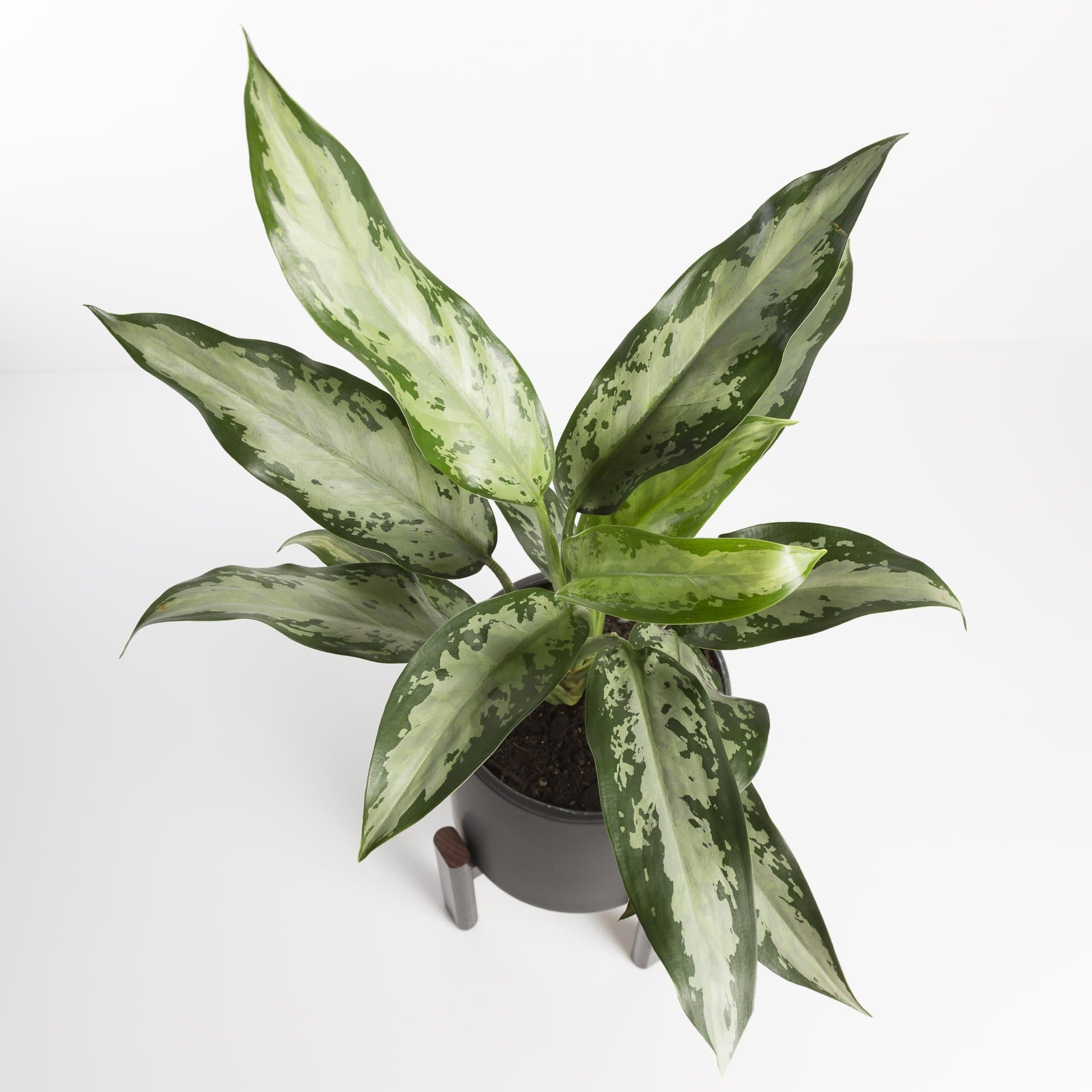 Chinese Evergreen 'Jubilee' - Urban Sprouts