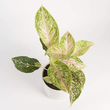Chinese Evergreen 'Moonstone Miles' - Urban Sprouts
